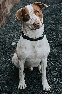 Hound (Unknown Type) Mix Dog for adoption in Indianapolis, Indiana - Freckles