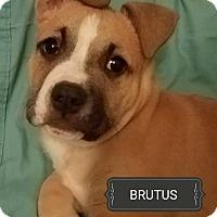 Adopt A Pet :: Brutus - Woodstock, GA