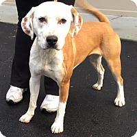 Adopt A Pet :: Macey - Cashiers, NC