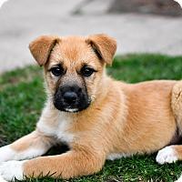 Adopt A Pet :: Butterscotch - Mt. Prospect, IL