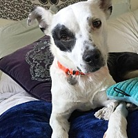 Adopt A Pet :: Shana - Livonia, MI