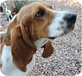 Basset Hound Dog for adoption in Phoenix, Arizona - Calvin