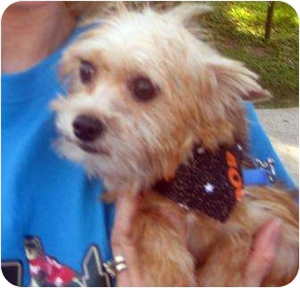 Yorkie, Yorkshire Terrier/Chihuahua Mix Dog for adoption in Conroe, Texas - Mickey