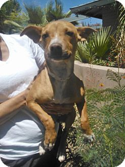 Chihuahua/Terrier (Unknown Type, Small) Mix Puppy for adoption in Scottsdale, Arizona - Itty Bitty