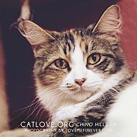 Domestic Mediumhair Cat for adoption in Chino Hills, California - Corinne