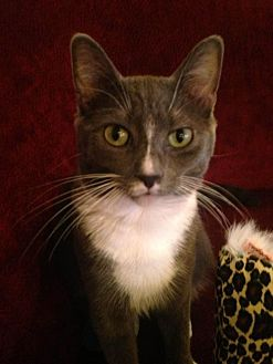 Domestic Shorthair Cat for adoption in Liberty, North Carolina - Weezie - NC