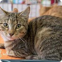 Adopt A Pet :: Mohawk - Merrifield, VA