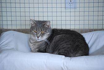 Domestic Shorthair Cat for adoption in Trevose, Pennsylvania - Betsy