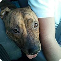 Adopt A Pet :: Tigger - Edisto Island, SC