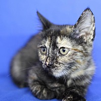 Domestic Shorthair Kitten for adoption in Winston-Salem, North Carolina - Amanda
