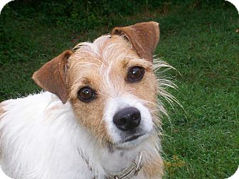 Jack Russell Terrier/Wirehaired Fox Terrier Mix Dog for adoption in Sullivan, Missouri - Luna