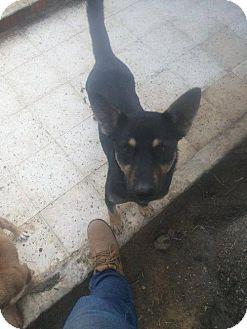 German Shepherd Dog Dog for adoption in Woodland Park, New Jersey - Zaika Egypt