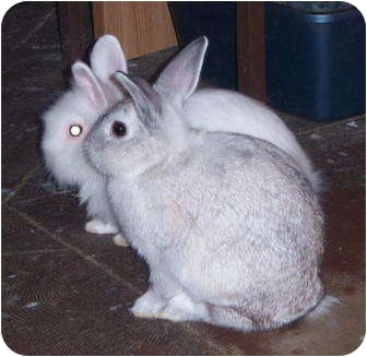 American Mix for adoption in Williston, Florida - Bun & Bunny