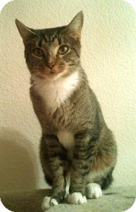 Domestic Shorthair Cat for adoption in Colorado Springs, Colorado - Missy