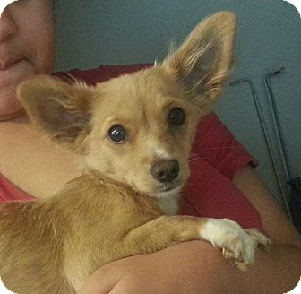 Chihuahua Mix Puppy for adoption in San Diego, California - Christie URGENT