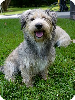 Cairn Terrier Mix Dog for adoption in Baton Rouge, Louisiana - Zoie