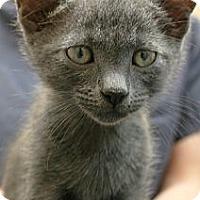 Adopt A Pet :: Gravy - Secaucus, NJ