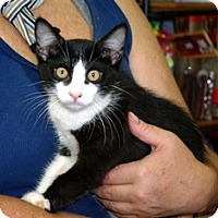 Domestic Shorthair Cat for adoption in Slidell, Louisiana - Domino