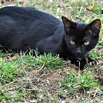 Domestic Shorthair Cat for adoption in Cherry Hill, New Jersey - Berry