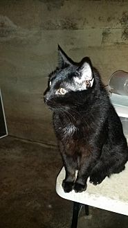 Domestic Shorthair Cat for adoption in Cedar Rapids, Iowa - FDR