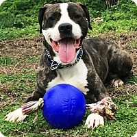 Adopt A Pet :: Blue - adoption pending - Tipp City, OH
