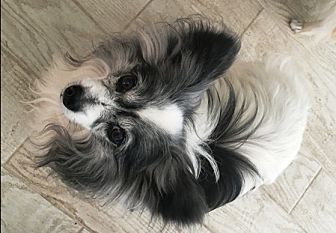 Papillon Dog for adoption in Marietta, Georgia - Wyzer  (in FL) 14 yrs