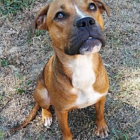 American Pit Bull Terrier/American Staffordshire Terrier Mix Dog for adoption in Covington, Tennessee - Cookie