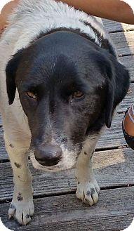 Pointer/Spaniel (Unknown Type) Mix Dog for adoption in Irmo, South Carolina - Layna