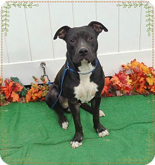 Pit Bull Terrier/American Pit Bull Terrier Mix Dog for adoption in Marietta, Georgia - FELIX