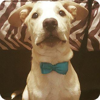American Bulldog/Labrador Retriever Mix Puppy for adoption in Phoenix, Arizona - Hunkaboo