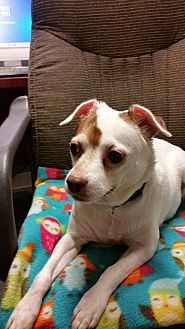 Chihuahua/Terrier (Unknown Type, Small) Mix Dog for adoption in New Richmond,, Wisconsin - Mabel