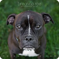 Boxer Mix Dog for adoption in Sheboygan, Wisconsin - Muse
