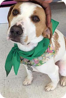 Beagle/Hound (Unknown Type) Mix Dog for adoption in Fairfax, Virginia - Parker *Adopt or Foster*