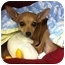 Photo 2 - Chihuahua Mix Puppy for adoption in AUSTIN, Texas - VALENTINA
