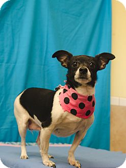 Rat Terrier Dog for adoption in Poteau, Oklahoma - DAIZEE