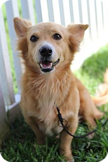 Corgi Mix Dog for adoption in Waipahu, Hawaii - Fox