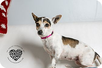 Chihuahua/Terrier (Unknown Type, Small) Mix Dog for adoption in Inglewood, California - Sweet Pea