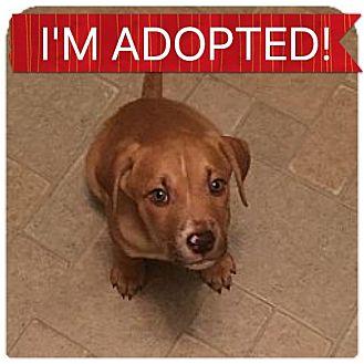 American Pit Bull Terrier Mix Puppy for adoption in Regina, Saskatchewan - Sandy