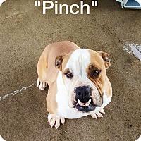 Adopt A Pet :: PINCH - Gustine, CA
