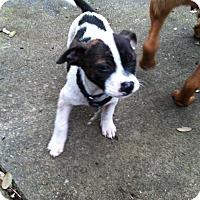 Boxer/Australian Shepherd Mix Puppy for adoption in Boerne, Texas - Eden