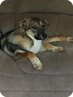 German Shepherd Dog Mix Puppy for adoption in Somers, Connecticut - Brandy