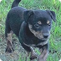 Adopt A Pet :: Willow - Lakewood, CO