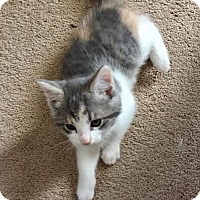 Adopt A Pet :: Bella Catid (check out Gigi) - Los Angeles, CA