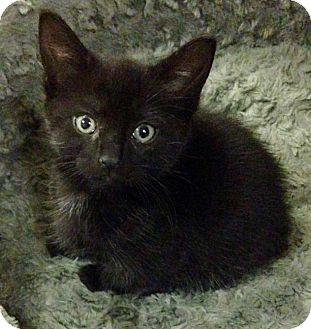 Domestic Shorthair Kitten for adoption in River Edge, New Jersey - Lucinda
