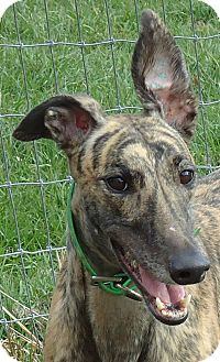 Greyhound Dog for adoption in Longwood, Florida - PB's Too Cool