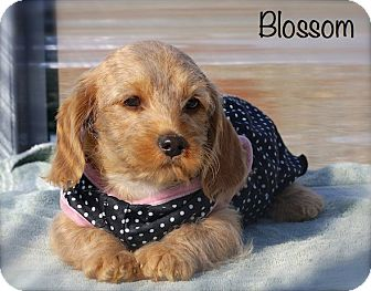 Cairn Terrier/Miniature Schnauzer Mix Puppy for adoption in Albany, New York - Blossom