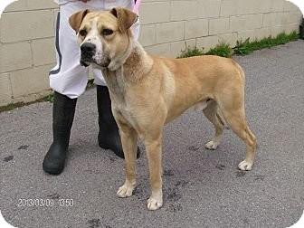 Boxer/Labrador Retriever Mix Dog for adoption in Albert Lea, Minnesota - Simon