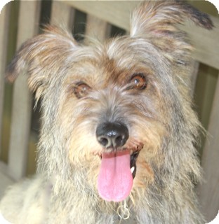 Cairn Terrier Mix Dog for adoption in Norwalk, Connecticut - Humphrey Bogart