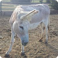 Adopt A Pet :: Blondie - Farmersville, TX