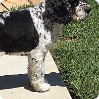 Adopt A Pet :: Lily - Sugarland, TX